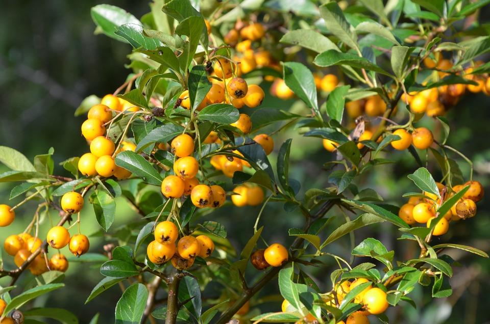 orange bär på buske