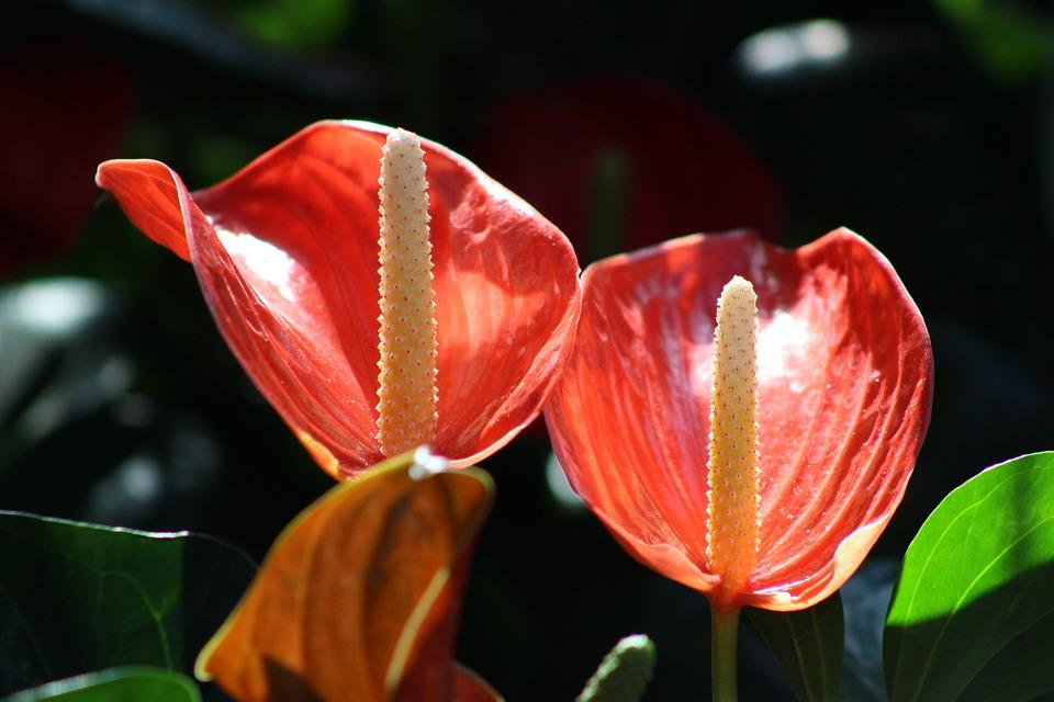 Gratis billede calla r d blomst plante natur gratis - Calla plante d interieur entretien ...