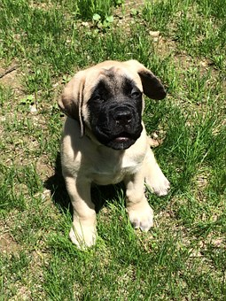 English Mastiff Puppies For Sale in Illinois