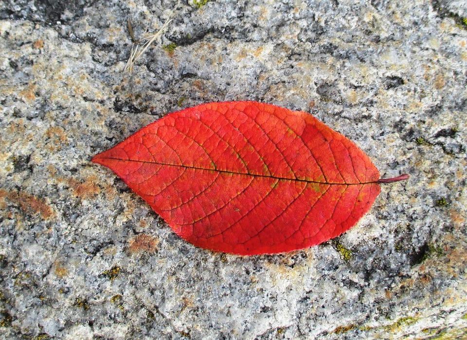 Kayın Sonbahar Yaprak Pixabayde ücretsiz Fotoğraf