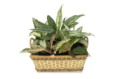 Aglaonema Dieffenbachia Pot-Scaping Orname