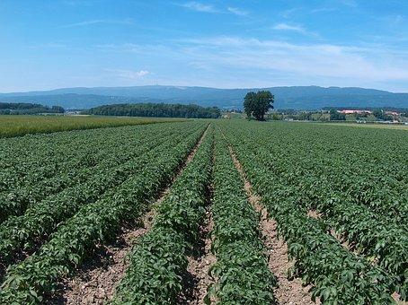 Potatoes, Potato Field, Agriculture