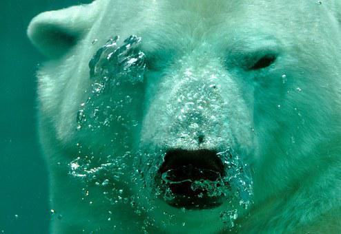 Polar Bear, Bear, Breath, Air Bubbles