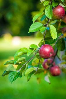 Apple Tree Fruit Food Branch With Apples A
