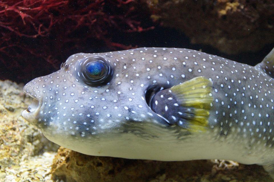 free photo puffer fish boxfish fish free image on