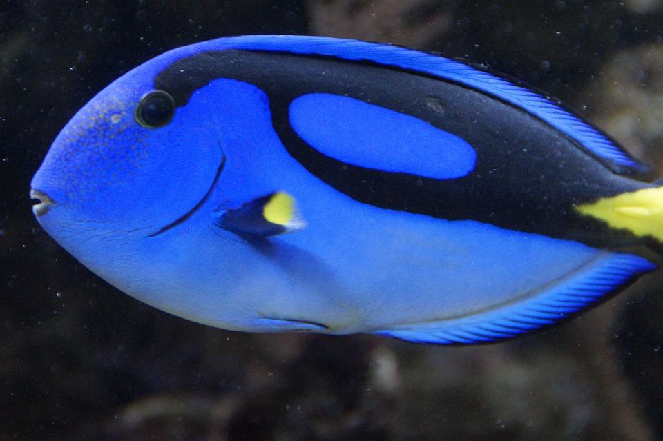 Pescado pez cirujano azul foto gratis en pixabay for Tipos de jaulas para peces
