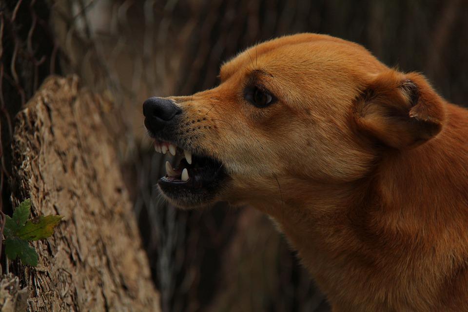 dog angry rage free photo on pixabay