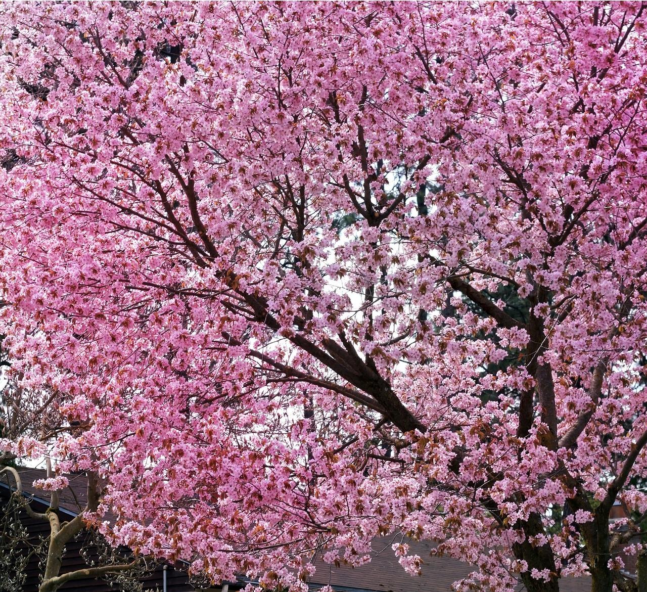 Картинки сакуры в цвету полностью