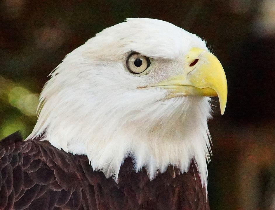 Águila Calva Naturaleza · Foto gratis en Pixabay