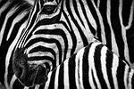zebra, paski, zwierząt