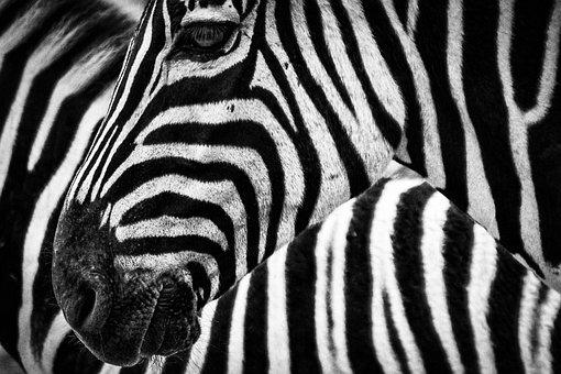 Free photos of zebras 10 amazing zebra facts Discover Wildlife
