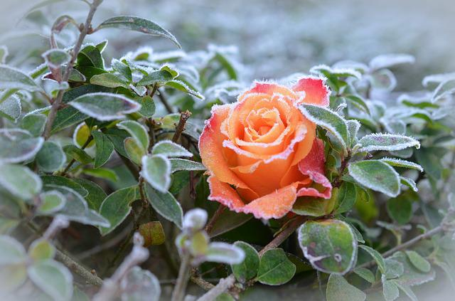 Free Photo Rose Frost Winter Winter Magic Free Image