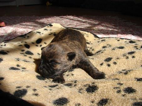 30+ Free Cairn Terrier & Dog Images - Pixabay