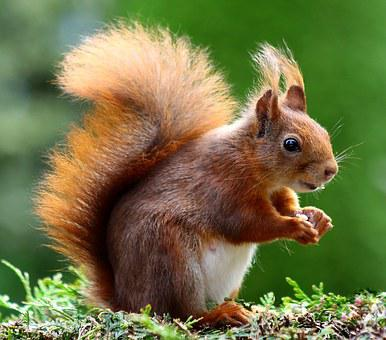 Squirrel, Animal, Cute, Rodents