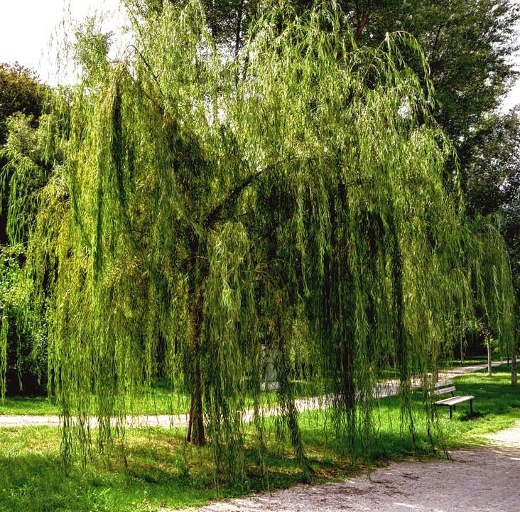 Free photo weeping willow garden nature free image on for Arbre feuillage persistant pour petit jardin