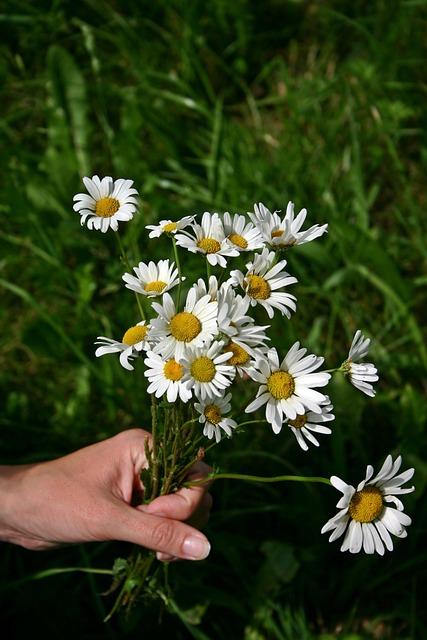Free photo bouquet wildflowers daisies free image on pixabay 497220 - Bouquet de fleurs des champs ...