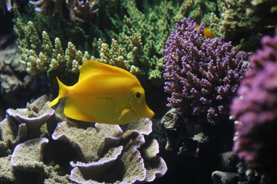 Free photo: Fish, Tropical, Yellow, Ocean, Sea - Free