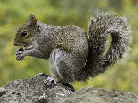 Squirrel, Wildlife, Nature, Animal, Fur