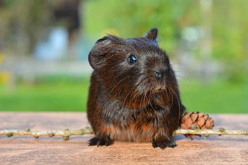 Guinea Pig, Pet, Nager, Rodent, Animal