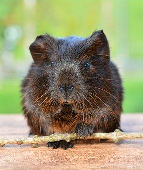 Gold Agouti, Guinea Pig, Pet, Nager