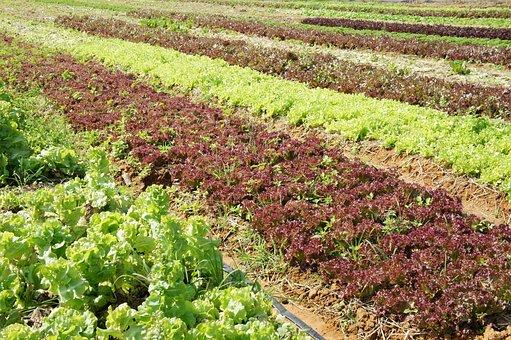 Lettuce, Vegetable, Plants, Field
