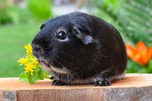Guinea Pig, Rodent, Animal, Smooth Hair