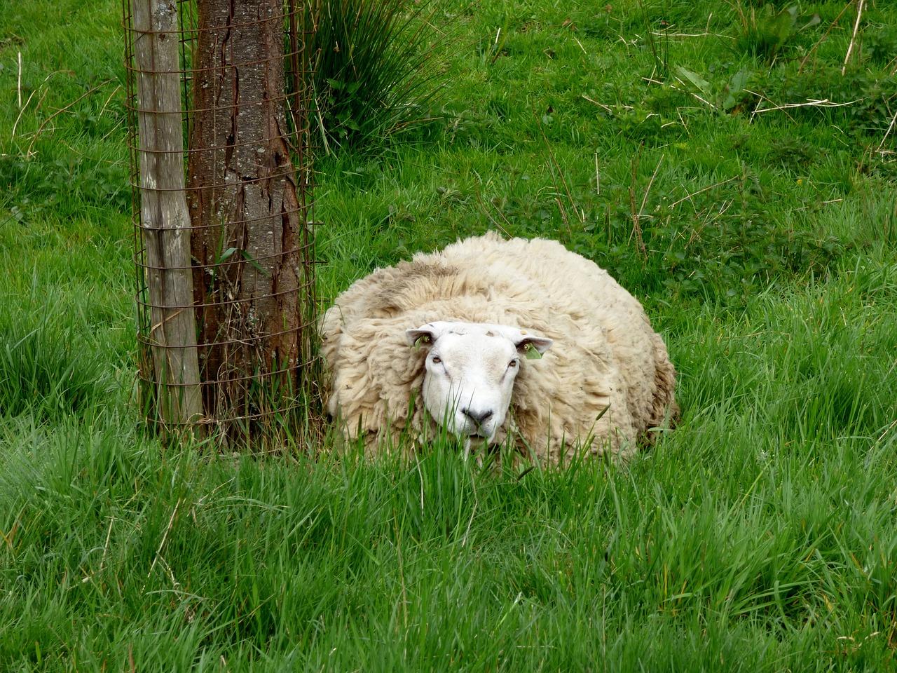 поделить эти фото овцы спрятались нашем