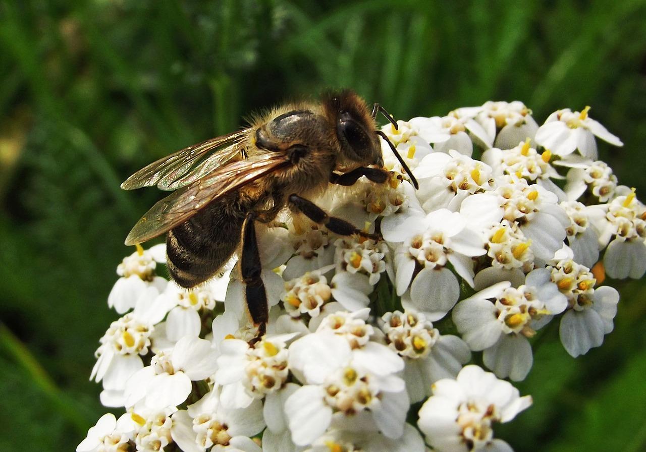 Пчела на цветке фотография
