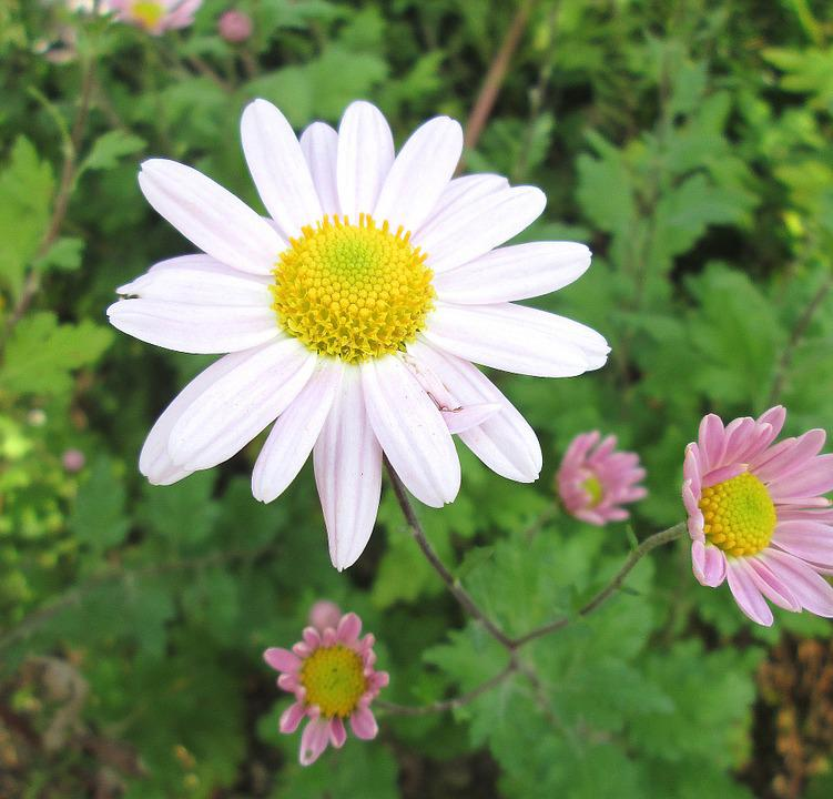 free photo winter aster, flower, plant, aster  free image on, Beautiful flower
