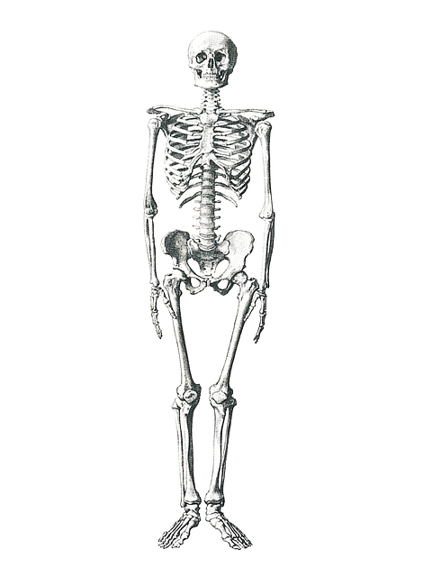 free illustration  skeleton  medical  bone  anatomical