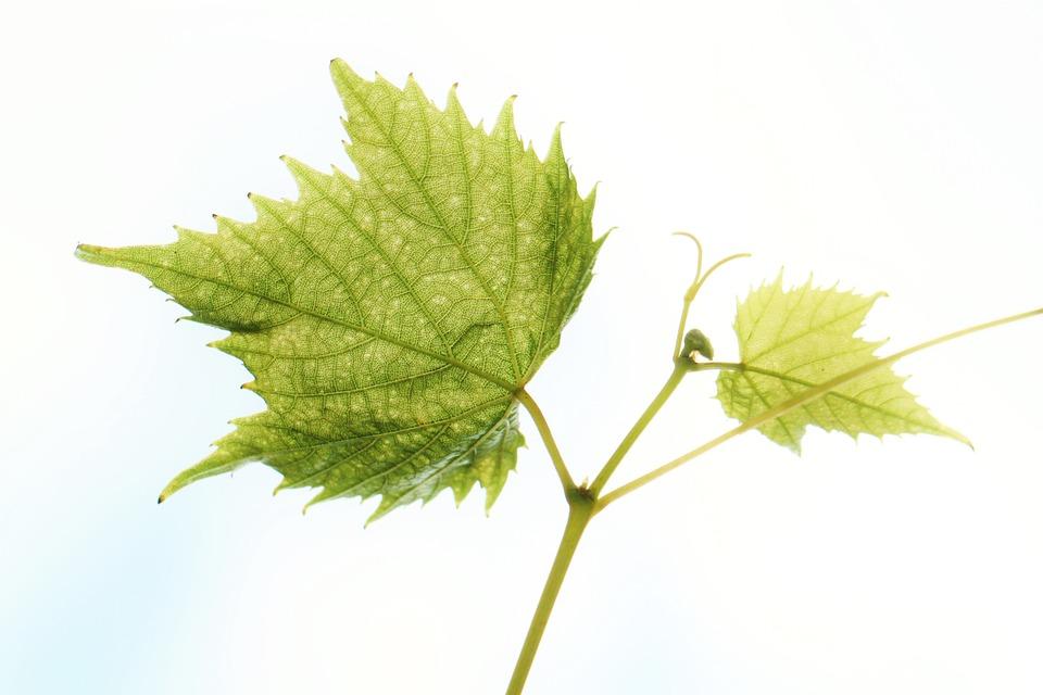 photo gratuite feuille de vigne  vigne  vin image grace clipart grape clipart border