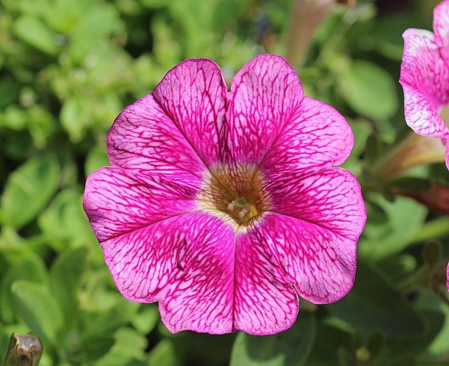 petunie blume rosa kostenloses foto auf pixabay. Black Bedroom Furniture Sets. Home Design Ideas