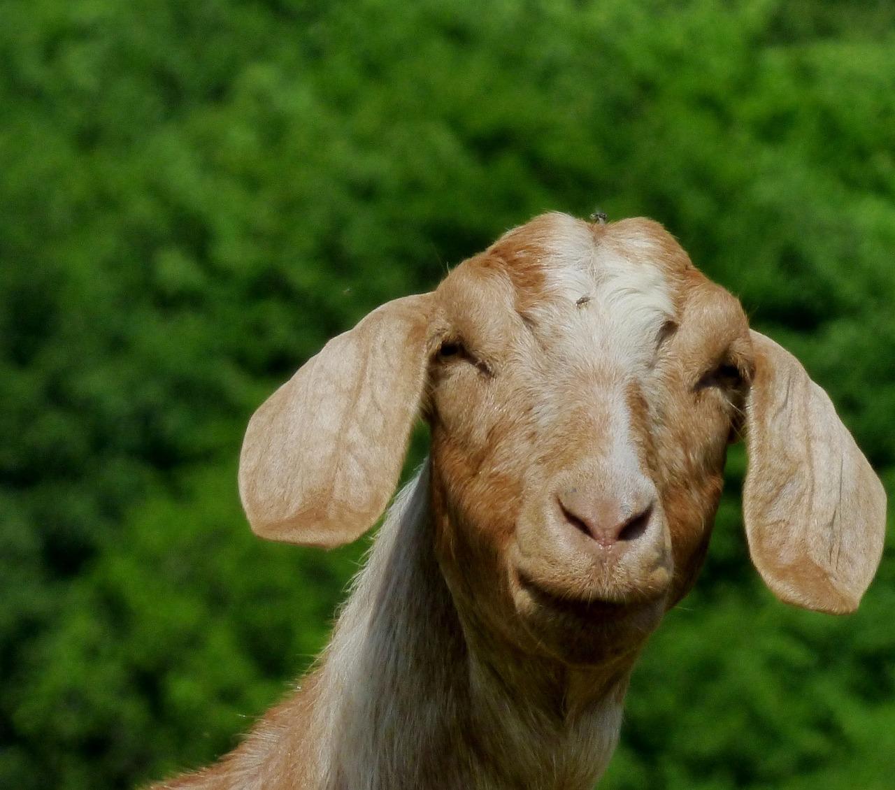 этой уши козы картинка лице
