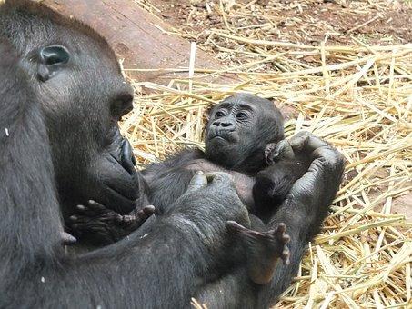 Gorila, Baby, Zoo, Opice, Zvířata