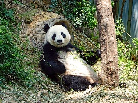 Panda, Endangered, Rare, Protected