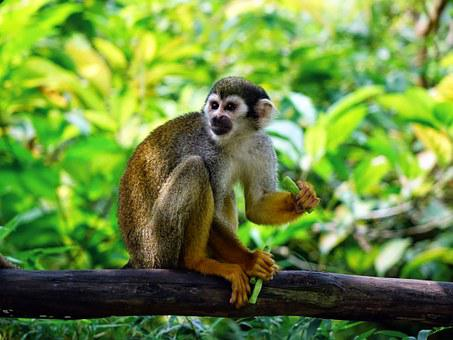 Squirrel Monkey Monkey Climb Feeding Zoo N