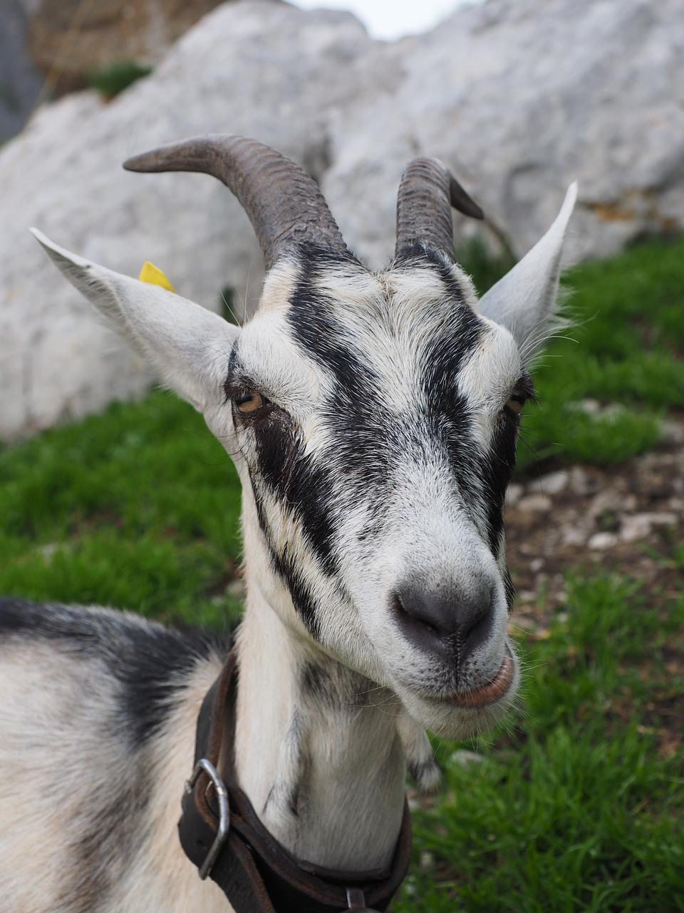 Картинки коз козлов