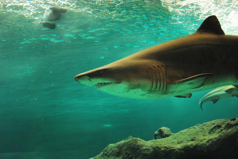 Haie haben eher grimmige Blicke und gelten als gefährlich. Deshalb verspricht mit Haien schwimmen einen Adrenalinschub.