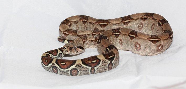 Emperor Snake Red Tailed Boa Boa Snake Boa
