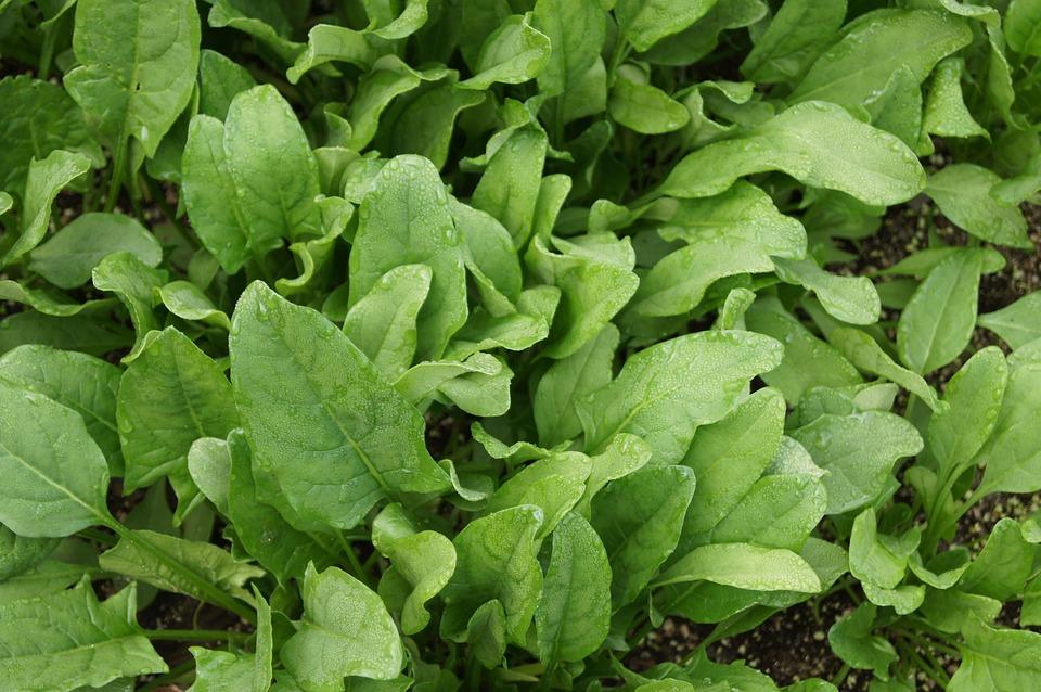 Épinards, Légumes, Légume