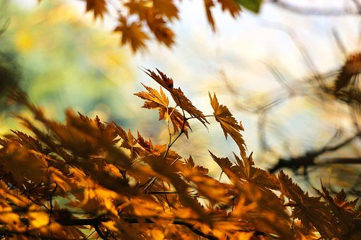 Autumn, Leaves, Forest, Maple Leaves