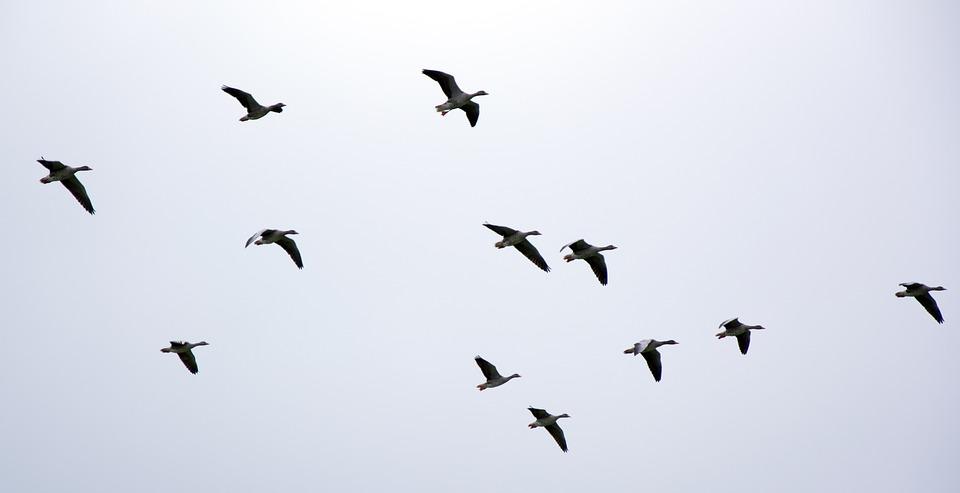 Скачать бесплатно звуки летящих журавлей