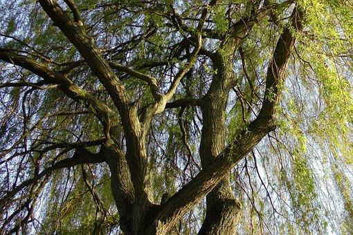 Ağlamak Söğüt, Otlak, Baumm, Söğüt Ağacı