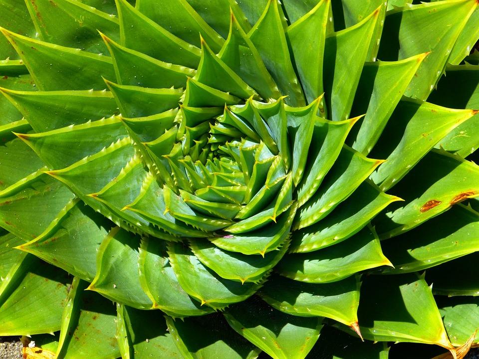Aloe, Succulento, Aloe Polyphylla, Spiralaloe, Foglie