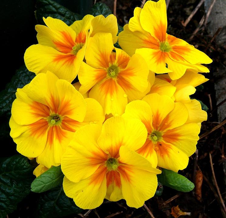 Gratis foto primula het voorjaar gele gratis for Primule immagini