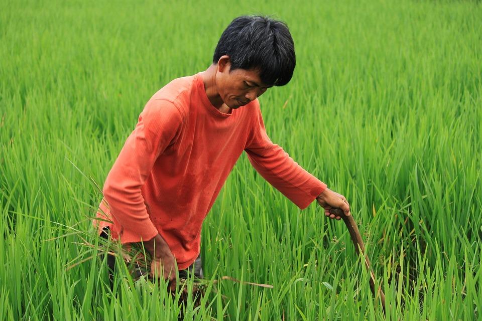 Sawah Petani Hijau Foto Gratis Pixabay Alam Pedesaan Tanaman Padi