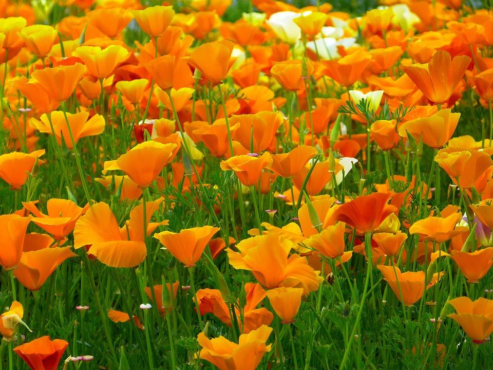 Iceland poppy flowers orange free photo on pixabay iceland poppy flowers orange mohngewaechs bright mightylinksfo