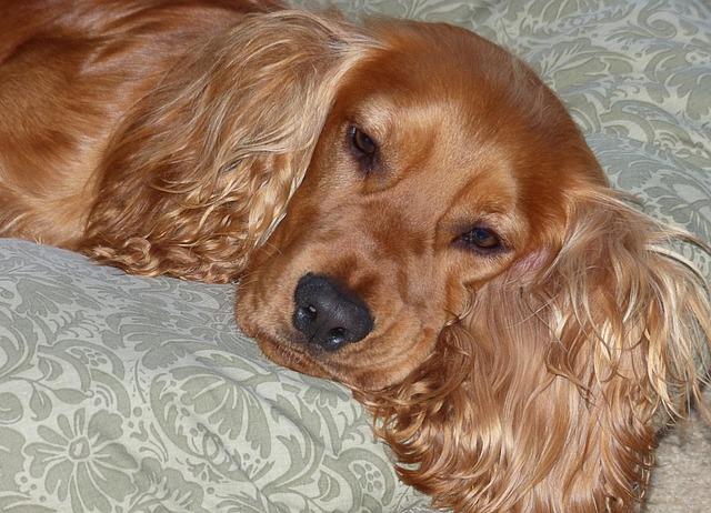 Free Photo Cocker Spaniel Brown Dog Pet Free Image