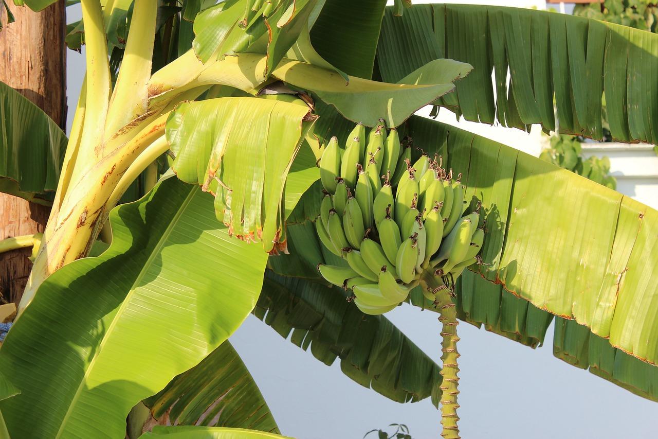 как растут мини бананы фото эрозии шейки