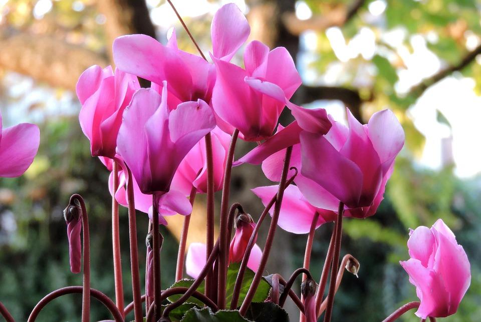 【色別】シクラメンの花言葉と贈り物をするときの意味|赤/白/青/紫